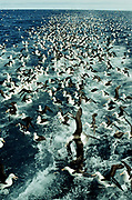 Black-browed Albatross behind fishing trawler<br />