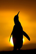 Ein männlicher Königspinguin (Aptenodytes patagonicus) richtet sich hoch auf, um mit einem lauten Ruf seinen Konkurrenten zu imponieren. | A male king penguin (Aptenodytes patagonicus) stands tall and calls during display.