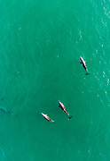 Dolphins in waters offshore of Southern California.