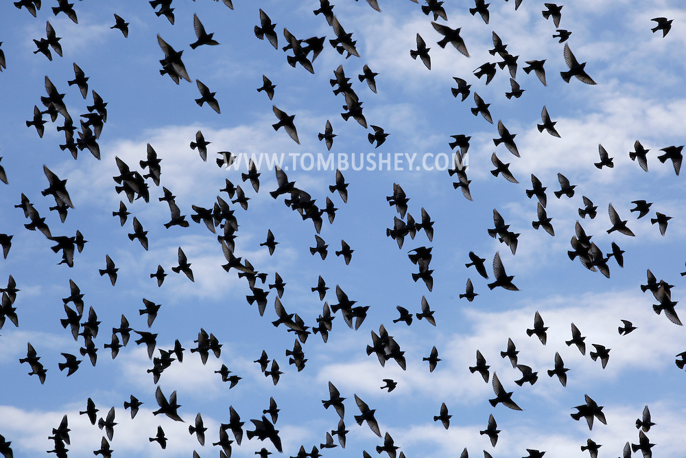 Hamptonburgh, New York - A flock of European starlings fly through the sky on Nov. 21, 2010.