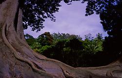 Moreton Bay Fig (Ficus macrophylla) Tree, Allerton Garden, National Tropical Botanical Garden, Kauai, Hawaii, US