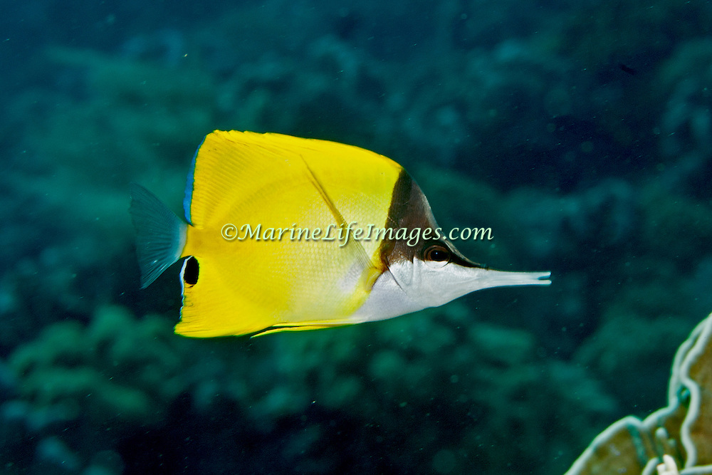 Longfin Bannerfish inhabit reefs and open water near reefs, often in pairs. Picture taken Banda, Indonesia.