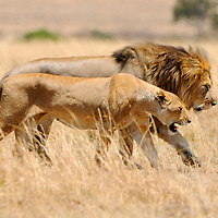 Male Lion and Lioness (Panthera leo), Mating Pair, Masai Mara National Reserve, Kenya