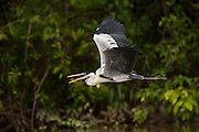 Cocoi Heron (Ardea cocoi)<br /> Savannah<br /> Rupununi<br /> GUYANA. Argentina, Bolivia, Brazil, Chile, Colombia, Ecuador, French Guiana, Guyana, Panama, Paraguay, Peru, Suriname, Uruguay, and Venezuela. It is a non-breeding visitor to Trinidad and Tobago and a vagrant to the Falkland Islands and Tristan da Cunha.