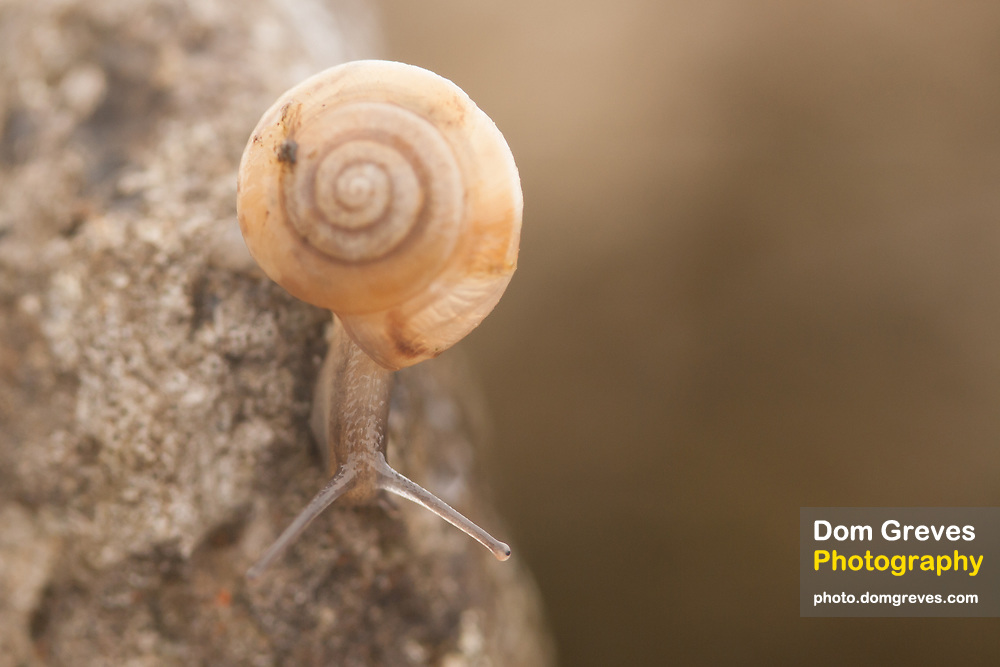 Snail on dry stone wall.