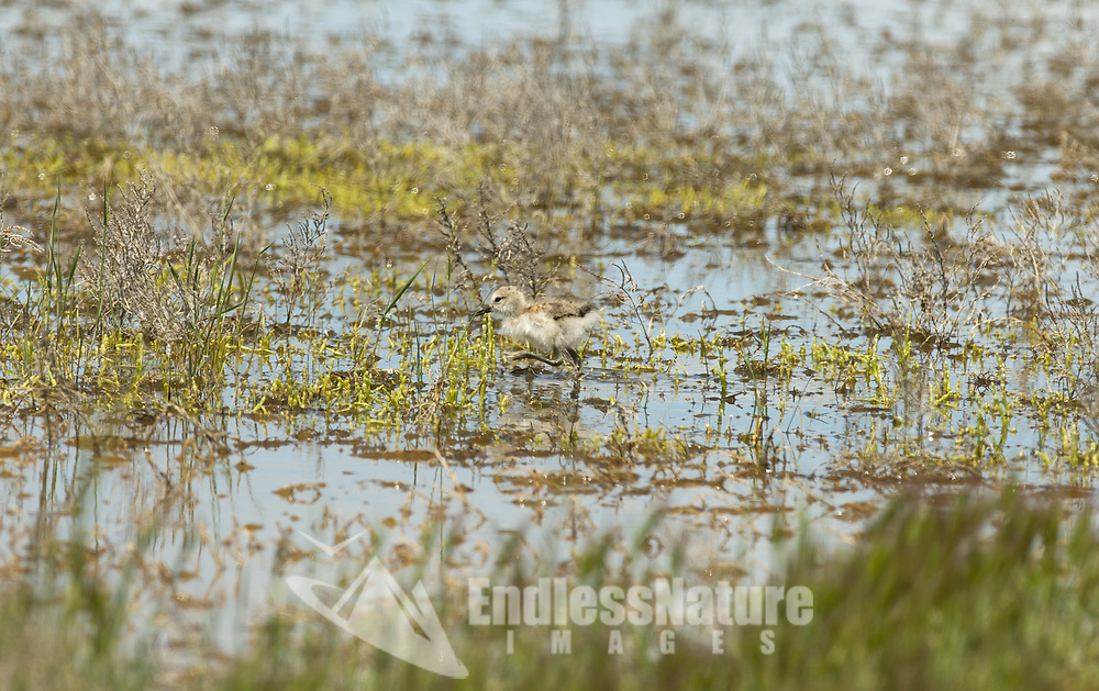 An American Avocet young chick navigates the wetlands.