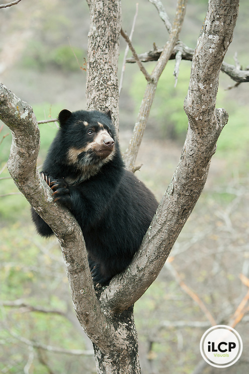 Spectacled Bear (Tremarctos ornatus) 2-year old female, Chaparri Reserve, Lambayeque Province, Peru