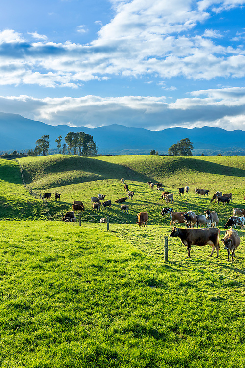 Dairy cows graze on lush green hills near Ngahere in the Grey River valley. West Coast, New Zealand.