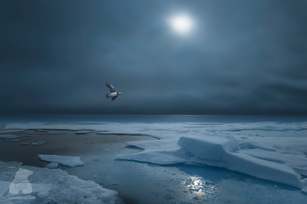 Puffin flying over the drifting ice, in the north west of Spitsbergen island, Svalbard.