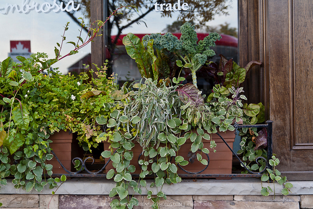 Edible planting in a widow box in front of a store window on a busy urban street.