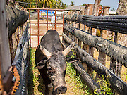 08 FEBRUARY 2014 - PHAWONG, SONGKHLA, THAILAND: A bull leaves the ring after a bullfight in rural Songkhla province, Thailand. Bullfighting is a popular past time in southern Thailand. Hat Yai is the center of Thailand's bullfighting culture. In Thai bullfights, two bulls are placed in an arena and they fight, usually by head butting each other, until one runs away or time is called. Huge amounts of mony are wagered on Thai bullfights - sometimes as much as 2,000,000 Thai Baht ($65,000 US).   PHOTO BY JACK KURTZ
