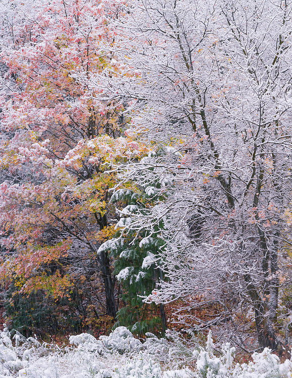 An autumn snowstorm in Nebo Canyon signals the transition to winter in Utah's Uinta mountains.