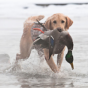 A yellow Labrador retriever brings a mallard drake back to the blind during a winter waterfowl hunt on the South Fork of the Snake River in Idaho.
