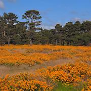 Field Of Gold - Salt Water Marsh - Oregon Coast