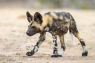 Junge Afrikanische Wildhunde (Lycaon pictus) spielen miteinander, Schutzgebiet Sabi Sands, S&uuml;dafrika<br /> <br /> African wild dog pubs (Lycaon pictus) are playing, private game reserve Sabi Sands, South Africa