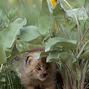 Canada Lynx, (Lynx canadensis) Montana. Kitten among Arrowleaf Balsamroot flowers. Spring.  Captive Animal.