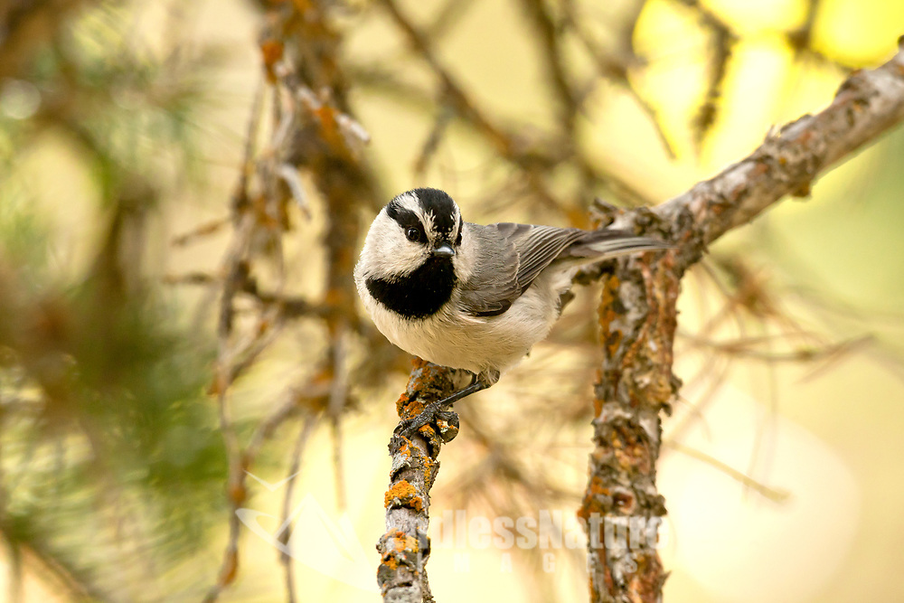 A Mountain Chickadee perched on a branch in Oak Brush in the mountains of northern Utah.