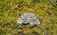 This attractive little autumnal moth was found on the side of a moss-covered tree stump in Bellevue, Washington on a fall afternoon. Very common, all in North America and Europe, it is highly variable in color and pattern and is associated with birch trees.