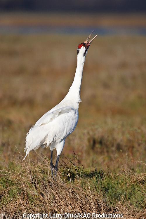 """Whooping Crane (Grus americana) endangered species """"whooping"""" or calling"""