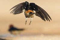 Greater-striped swallow flying away from camera with feet dangling, De Hoop Nature Reserve, Western Cape, South Africa