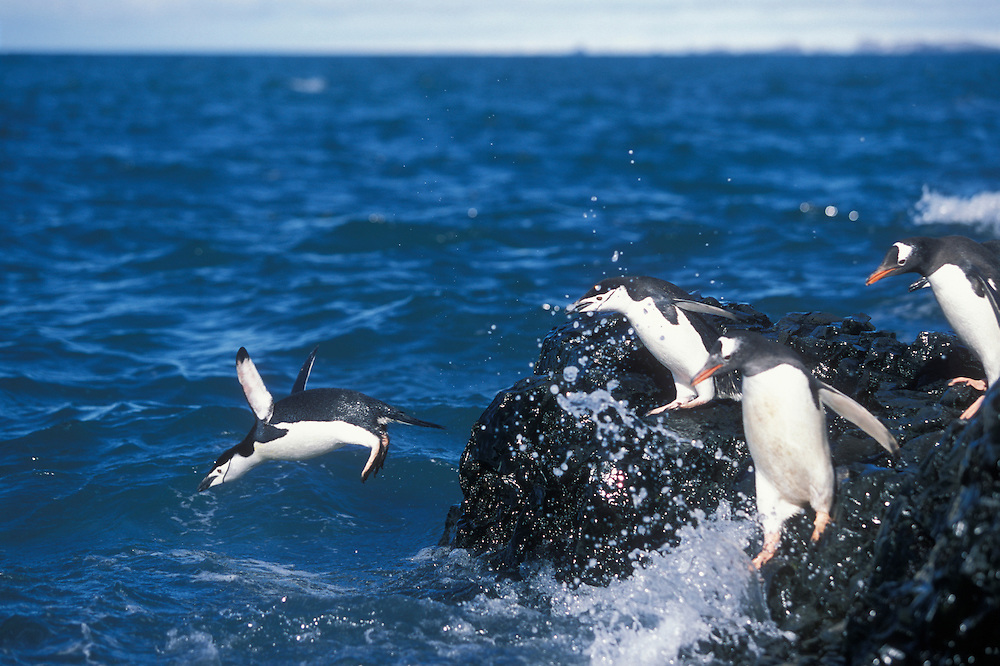 Antarctica, Livingston Island, Hannah Point, Chinstrap and Gentoo penguins leap from rocks into wave at ocean's edge