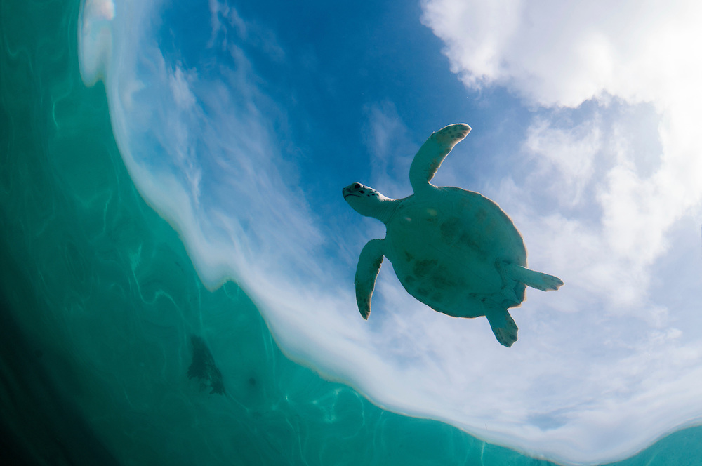 Turtles gained protection from hunting in The Bahamas in 2009. Since then they have begun a recovery.