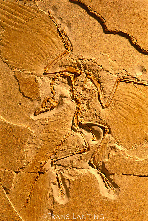 Archaeopteryx fossil, Solnhofen, Germany