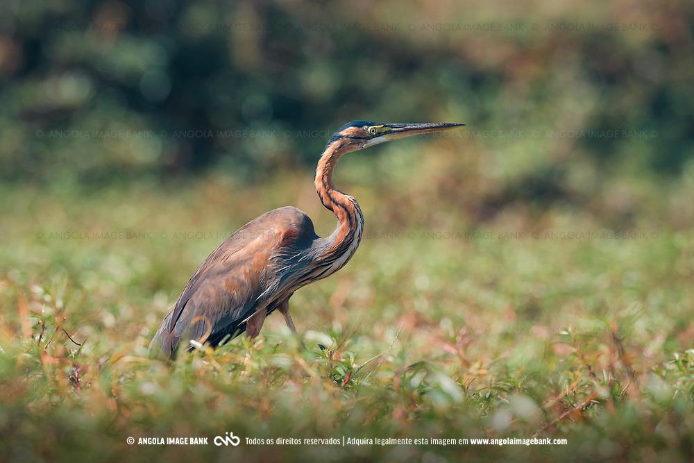 Garça-vermelha a caçar nas margens alagadas do rio Cubando na província do Cuand-Cubango, Angola.