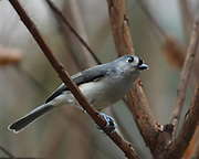 image of a titmouse