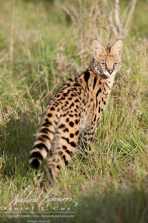 Serval (Felis serval) in Masai Mara National Reserve, Kenya, Africa.