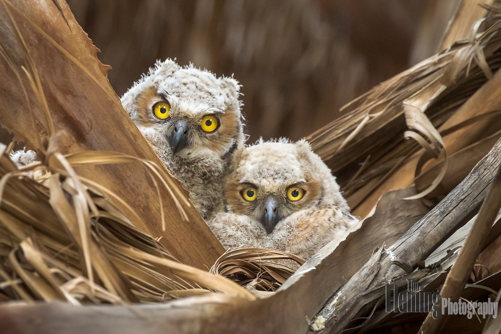 Great Horned Owl nestlings in the Thousand Palms Oasis Preserve, Coachella Valley, Riverside County, California.