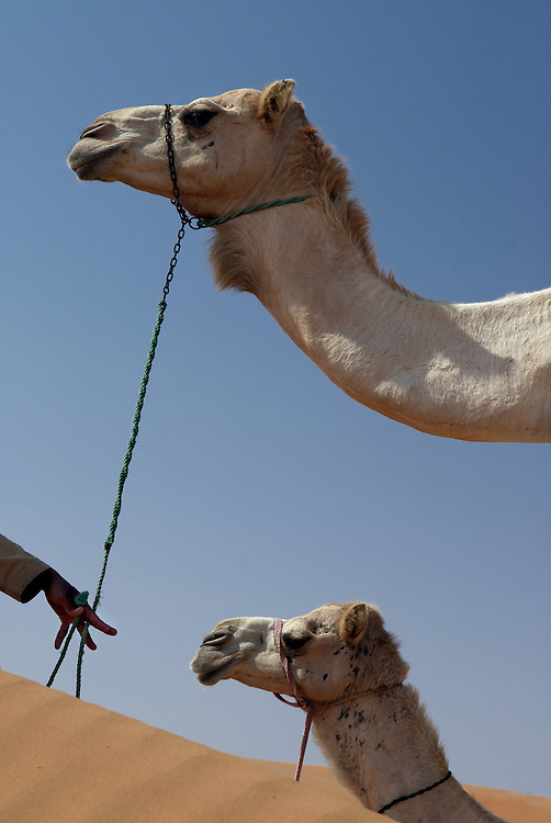 """Oman, Wahiba Sands. January/25/2008...Sometimes refered to as """"ships of the desert"""", camels prove an invaluable means of transportation in an environment where sure feet are required."""
