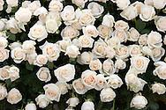 White Roses on Tournament of Roses Parade Float, Pasadena, California - 2008