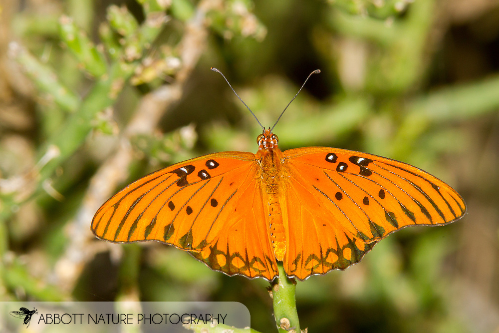 Gulf Fritillary - Hodges#4413 (Agraulis vanillae)<br /> United States: Texas: Travis Co.<br /> Hornsby Bend off Platt Lane, Austin<br /> 10-Sep-2017<br /> J.C. Abbott #2983
