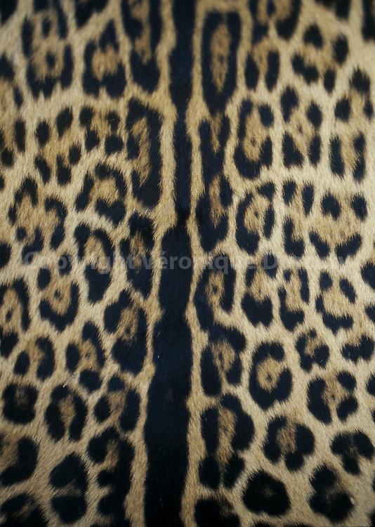 detail de peau de jaguar, dans un village de caboclos, Amazonie, Bresil