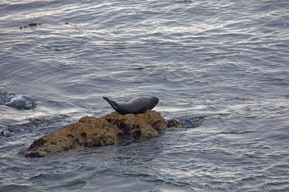 USA, California, Monterey. Seal on rock along 17-Mile Drive.