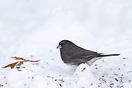 01569-01517 Dark-eyed Junco (Junco hyemalis) feeding in on ground in winter, Marion Co., IL