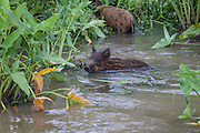 Juvenile Russian wild boars, swimming in the swamp, at Pearl Island Honey Swamp, Louisiana