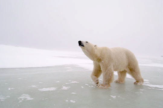Polar Bear (Ursus maritimus) Sub adult, low ground view. Churchill, Manitoba. Canada. Winter.