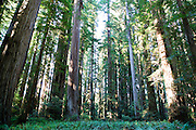 A forest of giant Redwoods in Northern California.