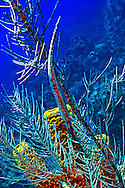 Trumpetfish, Aulostomus maculatus, Valenciennes, 1837, Grand Cayman