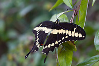 Heraclides rumiko (Western Giant Swallowtail) ♂ at Santa Monica, Los Angeles Co, CA, USA, on 01-Oct-12
