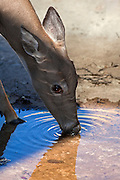 A close up shot of a young white tailed deer (Odocoileus virginianus) drinking from a small pool of water.