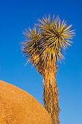 Joshua Tree and granite boulder, Jumbo Rocks, Joshua Tree National Park, California