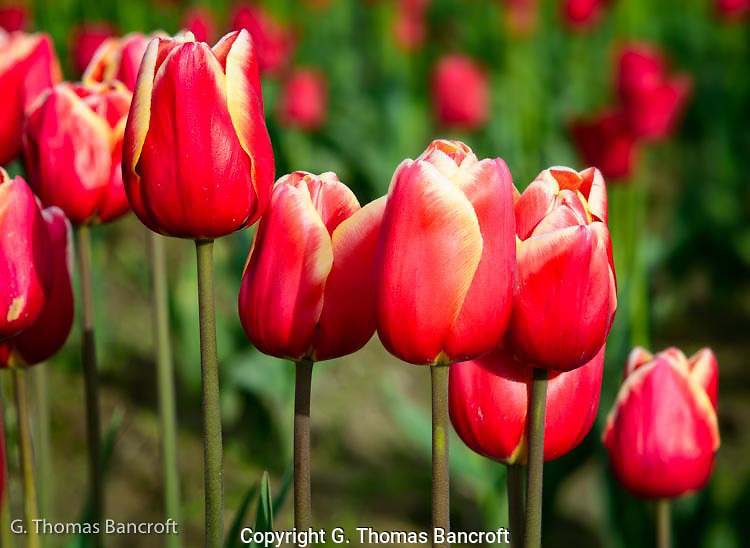 The sun accented the veins in the individual pedals showing the fine texture in each tulip.
