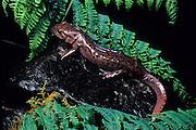 A Pacific Giant Salamander (Dicamptodon ensatus). captive, Oregon Coast.