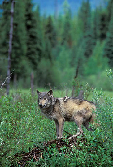 Gray Wolf, (Canis lupus) Portrait of wolf hunting around beaver pond. Captive Animal.