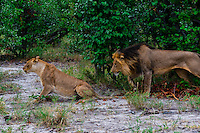 Lion and lioness mating, Kwando Concession, Linyanti Marshes, Botswana.