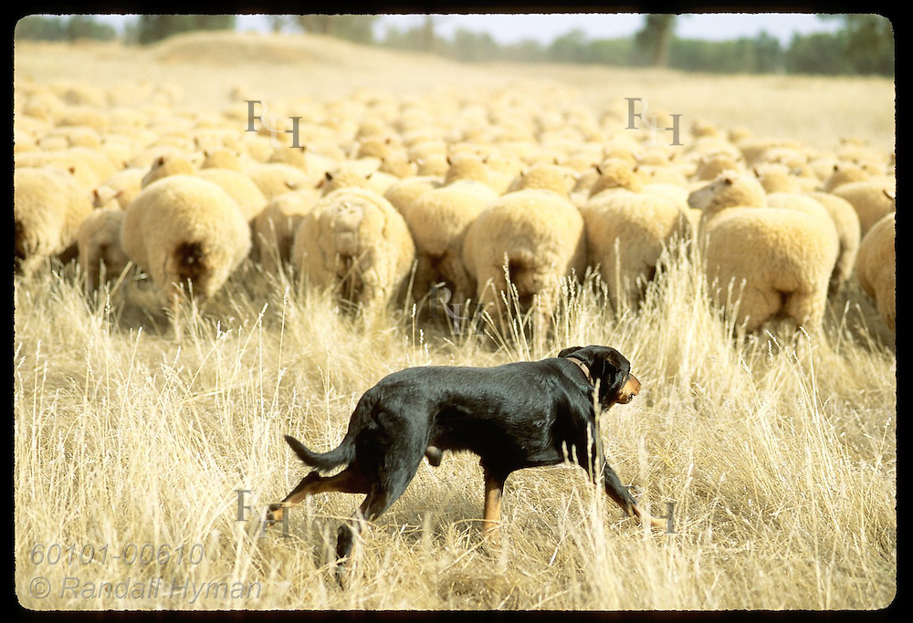 Dog sticks close behind flock of sheep that he herds on a farm in Coolamon, New South Wales. Australia