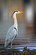 Gray Heron proudly posing for the photographer | Gråhegre poserer stolt for fotografen